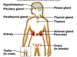 Endocrine System General Knowledge Simply Knowledge