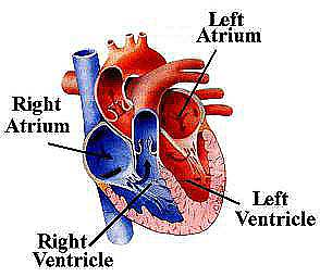 The heart consists of ...