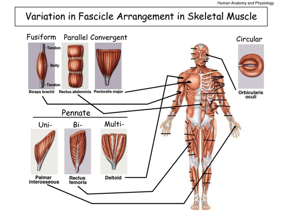 Skeletal Muscles General Knowledge Simply Knowledge