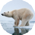 Global warming threat to polar bear