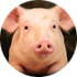 Gene editing could facilitates pig to human organ transplants